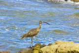 Long-Billed Curlew (Numenius Americanus) on Playa Guiones Beach at Nosara Photographic Print by Rob Francis