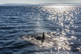 Resident Killer Whale Reprodukcja zdjęcia autor Michael Nolan