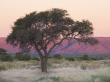 Camelthorn Tree Against Sandstone Mountains Lit by the Last Rays of Light from the Setting Sun Photographic Print by Lee Frost