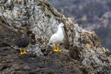 Breeding Pair of Kelp Geese (Chloephaga Hybrida) Photographic Print by Michael Nolan
