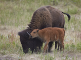 Bison (Bison Bison) Calf Playing with its Mother Photographic Print by James Hager