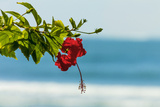 Hibiscus Flower at Popular Playa Guiones Beach Photographic Print by Rob Francis