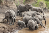 Elephants (Loxodonta Africana) at Mara River Photographic Print by Ann and Steve Toon