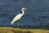 Snowy Egret (Egretta Thula) by the Nosara River Mouth Near the Biological Reserve Photographic Print by Rob Francis