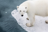 A Curious Young Polar Bear (Ursus Maritimus) on the Ice in Bear Sound Photographic Print by Michael Nolan