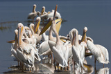 Great White Pelicans (Pelecanus Onocrotalus) Photographic Print by Ann and Steve Toon