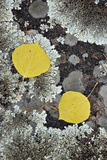 Yellow Aspen Leaves on a Lichen-Covered Rock in the Fall Photographic Print by James Hager