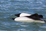Adult Commerson's Dolphins (Cephalorhynchus Commersonii) Photographic Print by Michael Nolan