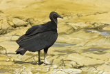 South American Black Vulture Photographic Print by Rob Francis