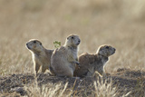 Three Black-Tailed Prairie Dog (Blacktail Prairie Dog) (Cynomys Ludovicianus) Photographic Print by James Hager