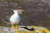Adult Male Kelp Goose (Chloephaga Hybrida) Photographic Print by Michael Nolan