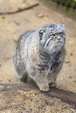 Pallas Cat Photographic Print by Charlie Harding