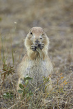 Black-Tailed Prairie Dog (Blacktail Prairie Dog) (Cynomys Ludovicianus) Eating Photographic Print by James Hager