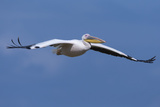 Great White Pelican (Pelecanus Onocrotalus) in Flight Photographic Print by Ann and Steve Toon