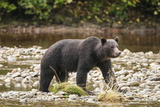 Brown or Grizzly Bear (Ursus Arctos) Fishing for Salmon in Great Bear Rainforest Photographic Print by Michael DeFreitas