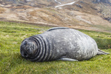 Southern Elephant Seal (Mirounga Leonina) Pup Photographic Print by Michael Nolan