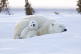 Polar Bear (Ursus Maritimus) and Cubs Fotografisk trykk av David Jenkins