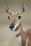 Pronghorn (Antilocapra Americana) Doe Photographic Print by James Hager