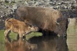 Bison (Bison Bison) Cow and Calf Drinking from a Pond Photographic Print by James Hager