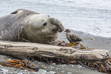 Southern Elephant Seal (Mirounga Leonina) Bull with Skua Photographic Print by Michael Nolan