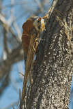 Variegated Squirrel Gathering Nest Material in Tree Photographic Print by Rob Francis