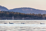 Transient Killer Whales (Orcinus Orca) Photographic Print by Michael Nolan