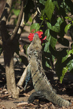 Large Black Ctenosaur or Iguana Negra Eating Red Hibiscus Flower Near Nosara Photographic Print by Rob Francis