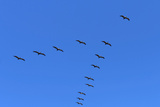 Pelicans in V Formation over Playa Guiones Beach Photographic Print by Rob Francis