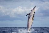 Hawaiian Spinner Dolphin (Stenella Longirostris) Photographic Print by Michael Nolan
