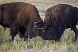 Bison (Bison Bison) Bulls Sparring Photographic Print by James Hager