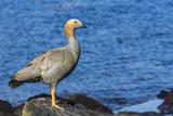 Adult Ruddy-Headed Goose (Chloephaga Rubidiceps) Photographic Print by Michael Nolan