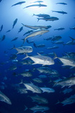 Giant Trevally (Caranx Ignobilis) Shoal Schooling Photographic Print by Mark Doherty