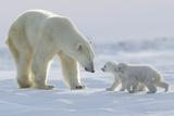 Polar Bear (Ursus Maritimus) and Cubs Reproduction photographique par David Jenkins