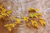 Box Elder (Boxelder Maple) (Maple Ash) (Acer Negundo) Branch with Yellow Leaves in the Fall Photographic Print by James Hager