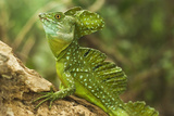 Plumed Basilisk (Jesus Christ Lizard) Photographic Print by Rob Francis