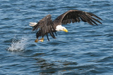 Bald Eagle (Haliaeetus Leucocephalus) Near Prince Rupert, British Columbia, Canada, North America Photographic Print by Michael DeFreitas