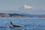 Resident Killer Whale Bull Photographic Print by Michael Nolan