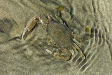 Superbly Camouflaged Crab on Playa Guiones Beach Photographic Print by Rob Francis