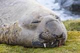 Southern Elephant Seal (Mirounga Leonina) Bull Photographic Print by Michael Nolan