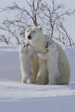 Polar Bear (Ursus Maritimus) and Cubs Stampa fotografica di David Jenkins