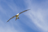 Adult Black-Browed Albatross (Thalassarche Melanophrys) in Flight Photographic Print by Michael Nolan