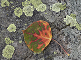 Aspen Leaf Turning Red and Orange on a Lichen-Covered Rock Photographic Print by James Hager