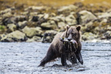 Young Brown Bear (Ursus Arctos) Fishing for Pink Salmon at Low Tide in Pavlof Harbour Photographic Print by Michael Nolan
