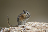 Least Chipmunk (Neotamias Minimus) Eating Photographic Print by James Hager