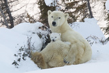 Polar Bear (Ursus Maritimus) and Cubs Papier Photo par David Jenkins