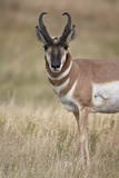 Pronghorn (Antilocapra Americana) Buck Photographic Print by James Hager