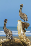 Pair of Brown Pelicans (Pelecanus Occidentalis) Perched at the Nosara River Mouth Photographic Print by Rob Francis