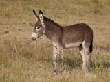 Young Wild Burro (Donkey) (Equus Asinus) (Equus Africanus Asinus) Photographic Print by James Hager