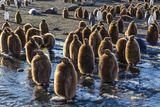 King Penguin (Aptenodytes Patagonicus) Chicks Photographic Print by Michael Nolan