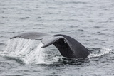 Adult Humpback Whale (Megaptera Novaeangliae) Flukes-Up Dive Photographic Print by Michael Nolan